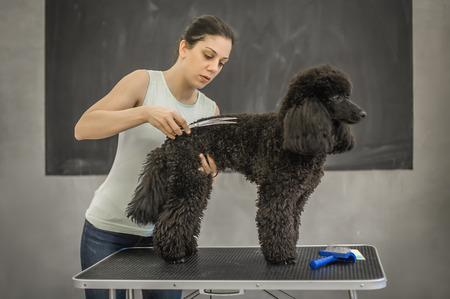 Grooming a little dog in a hair salon for dogs. Beautiful black poodle