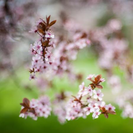 Gros plan de belles fleurs de printemps à l'arrière-plan flou. Mise au point sélective