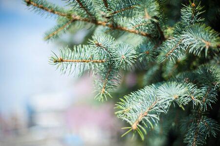 Close-up van pinyondenneappel op boom met pijnboomnoten. Selectieve aandacht