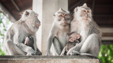 Macaque monkey family sitting and relaxing in secret monkey forest. Ubud, Bali, Indonesia
