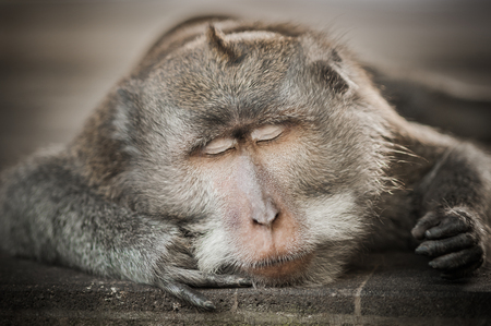 Portrait of monkey sleeping on tree at sacred monkey forest. Ubud, Bali, Indonesia