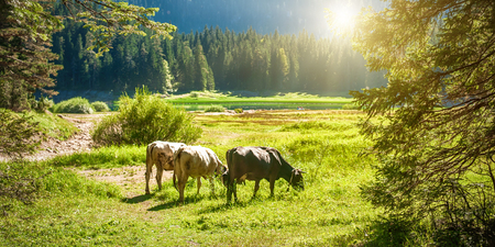 Grazing cows on a pasture near a mountain lake. Montenegro landscape with farmland Reklamní fotografie