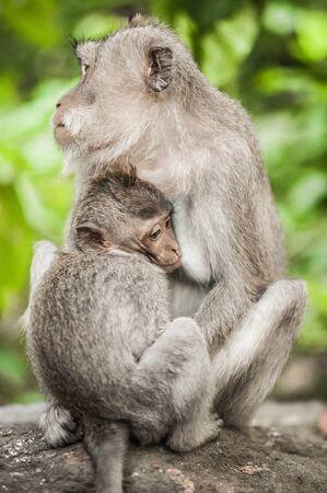 Close up of Mother monkey (Macaca mulatta) that feeding her baby at Sacred Monkey Forest. Animals family concept. Ubud, Bali, Indonesia 版權商用圖片