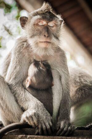 Close up of Mother monkey (Macaca mulatta) that holding her baby at Sacred Monkey Forest. Animals family concept. Ubud, Bali, Indonesia Standard-Bild