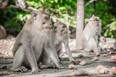 Photo of monkey family (Macaca mulatta) at Sacred monkey forest in Ubud. Bali. Indonesia