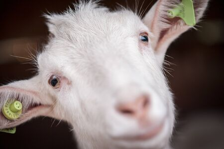 Beautiful white goat without horns stands in a barn. Beautiful well-groomed animals