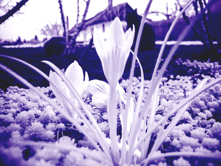 recurrence: Snowflake flower