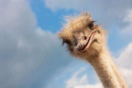 aves de corral: Avestruz Primer principal al aire libre Foto de archivo