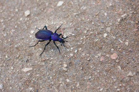 carabus: Crimean violet beetle carabus close up on asphalt