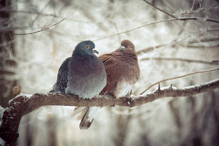 Two pigeons closeup are sitting on a tree branch and snuggling to each other in winter photo