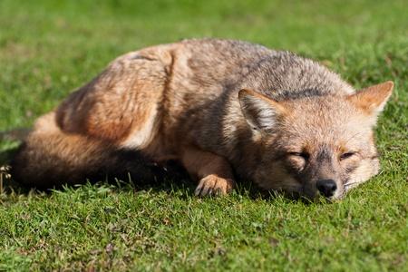 Sleeping fox Stok Fotoğraf
