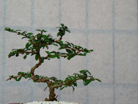 Bonsai antes de la pantalla. Foto de archivo - 10953630