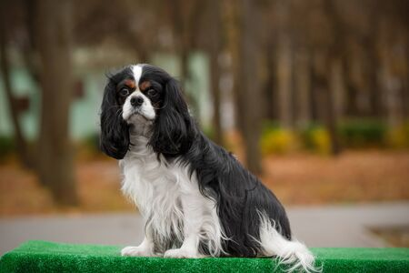 The dog breed Cavalier King Charles Spaniel brown and white close-up