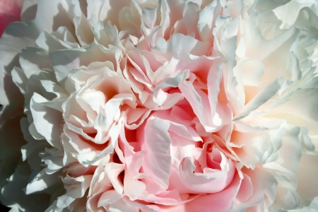 Abstract pink peony flower background Stock Photo