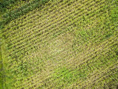 champ de mais: Corn plantation sur les terres agricoles dans le Mato Grosso, Brésil