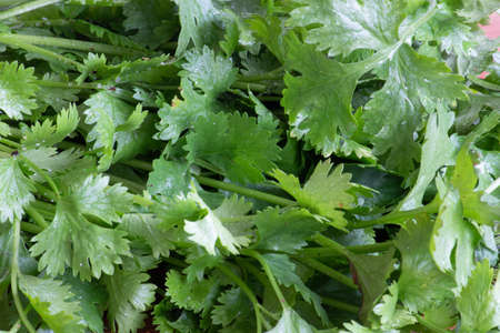 Coriander fresh green leaves. Coriander is loaded with antioxidants.