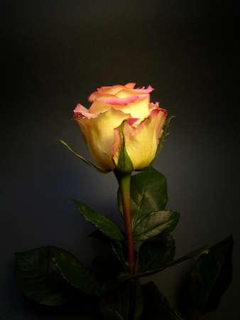 ambiance: Rose : Ambiance variety
