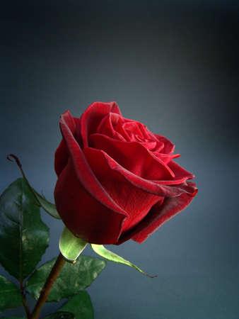 black magic: Rose :  variety Black Magic Stock Photo