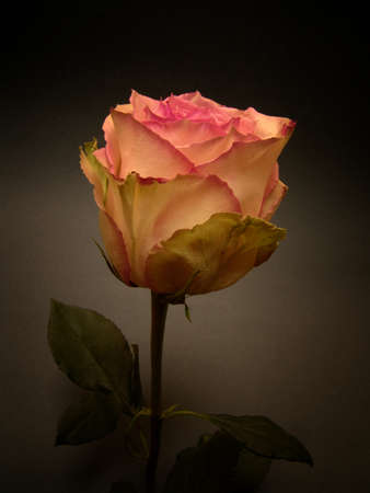 rose variety esperance stock photo picture and royalty free image
