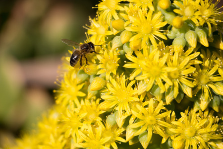A bee collecting pollen from yellow flowers