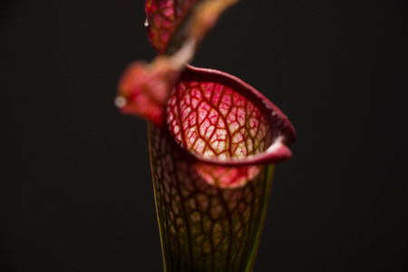 Sarracenia leucophylla flower in a foreground with dark background Stock Photo