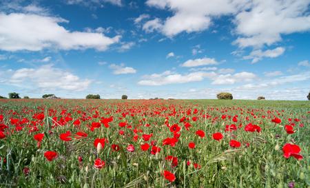 Hermosas flores de amapola rojas en un campo con un cielo azul Foto de archivo