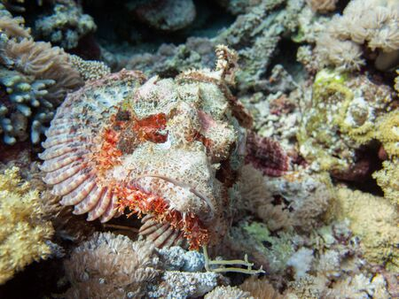 A scorpionfish (scorpaena scrofa), an uggly fish perched on the seabed on the shores of Saudi Arabia in the Red Sea