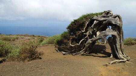 Sabina tree (Juniperus turbinata canariensis) twisted by the wind. La Dehesa. Frontera Rural Park. El Hierro. Canary Islands. Spain. Nature concept
