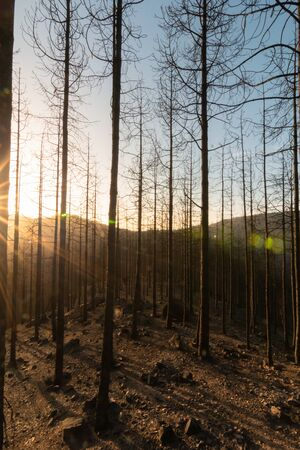 Sunbeams shine through the forest of burned pine trees in the natural park of Tamadaba. Environment concept