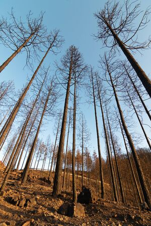 View from the ground of a burned pine forest in the natural park of Tamadaba, in Gran Canaria (Spain). Deforestation concept Stock Photo