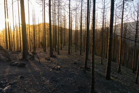 Sunset in the burned forest of pine trees in the natural park of Tamadaba. Environment concept