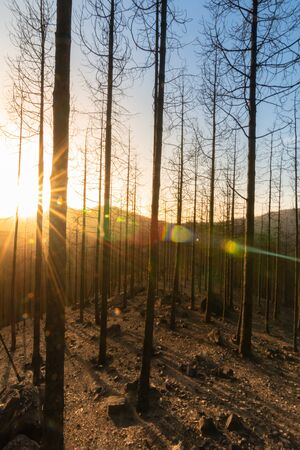 Sunset in the burned forest of pine trees in the natural park of Tamadaba, (vertical image). Environment concept
