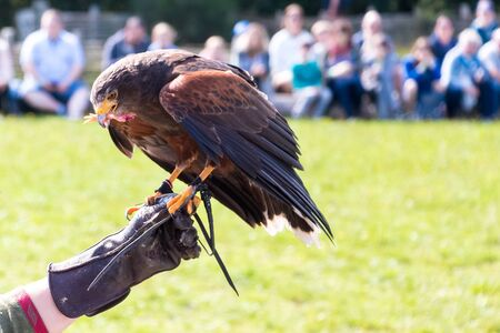 Golden eagle eating in a falconry show with unrecognizable people on the arm of its trainer. Animal concept
