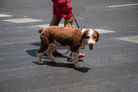 A man walks his Spanish water dog on a leash through the city. Animal relationship concept