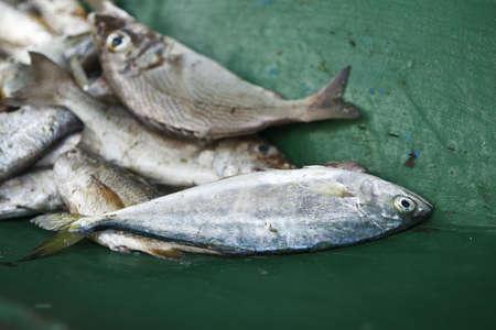 Fresh caught fish laying in the fishermans boat, brazilian coast Stock Photo