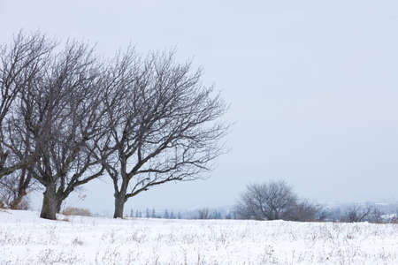 A couple of leafless trees in Southern Ontario, Canada, seen in a cold winter mornig