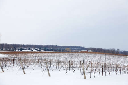 Cold winter morning in a Beamsville vineyard, Southern Ontario, Canada. Stock Photo