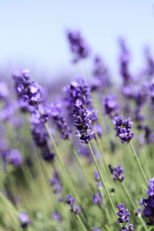 Lavender flowers blooming in a field during summer Stock Photo - 9969909
