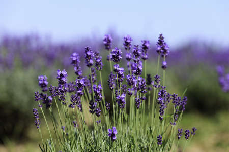 Lavender flowers blooming in a field during summer Stock Photo - 9969910