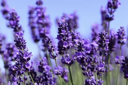 Lavender flowers blooming in a field during summer Stock Photo - 9969914