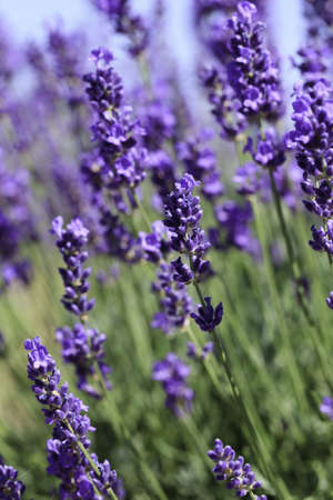 Lavender flowers blooming in a field during summer Stock Photo - 9969915