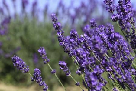 Lavender flowers blooming in a field during summer Stock Photo - 9969912