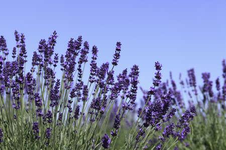 fiori di lavanda: Fiori di lavanda in fiore in un campo durante l'estate Archivio Fotografico
