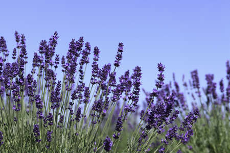 lavender coloured: Lavender flowers blooming in a field during summer