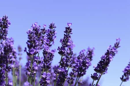 lavanda: Flores lavanda florece en un campo de verano