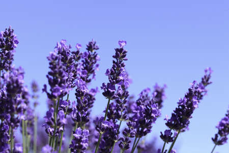 Lavender flowers blooming in a field during summer Stock Photo - 9969908