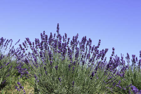 Lavender flowers blooming in a field during summer