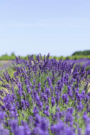 Lavender flowers blooming in a field during summer Stock Photo - 9969913