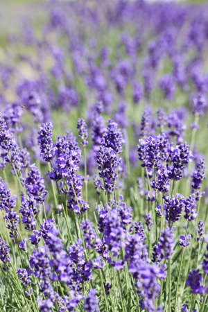 Lavender flowers blooming in a field during summer Stock Photo - 9969919
