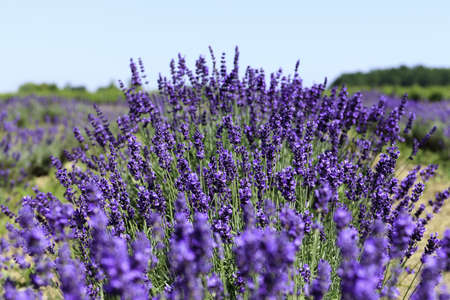 Lavender flowers blooming in a field during summer Stock Photo - 9969918